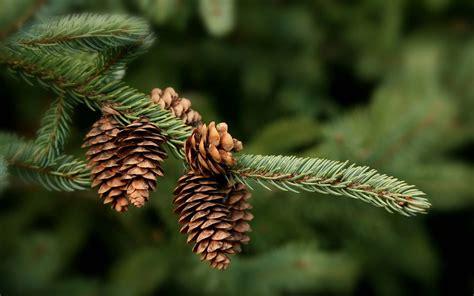 wonderful hd pine cone wallpapers