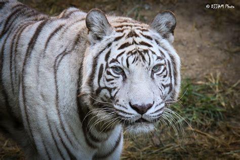 Cincinnati Zoo's Last White Tiger Dies  Wvxu