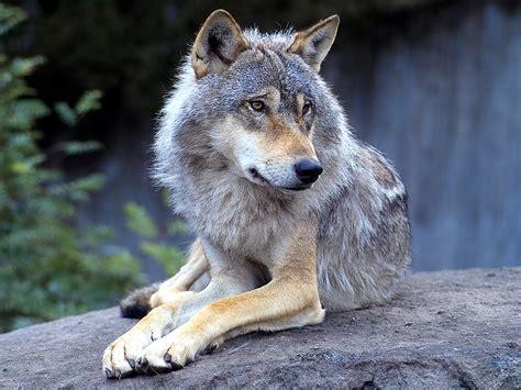 loup 28 loups moni photos club doctissimo