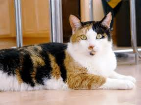 calico cat file calico cat phoebe jpg