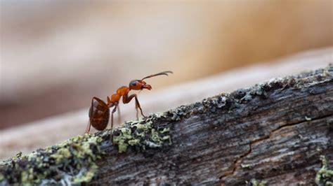 hilft backpulver gegen ameisen hausmittel gegen ameisen was hilft gegen ameisen