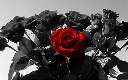 Rose Roses Wallpapers Desktop Computer Background Flowers
