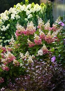 Pinky Winky Hydrangea For Sale Online