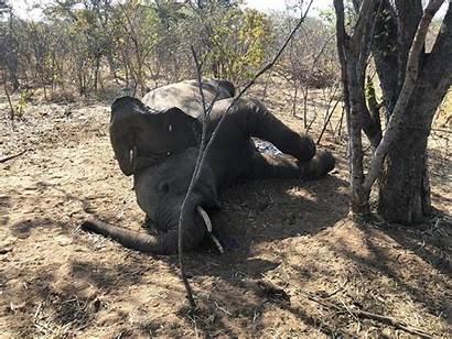 Zimbabwe Elephants Deaths Elephant Expected Dying Investigating