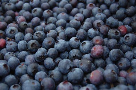 U-pick Blueberries At Blue Dog Farm