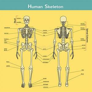 Human Skeleton  Front And Rear View With Explanations