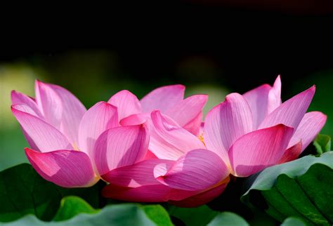 lotus flower beautiful high quality hd wallpapers all hd
