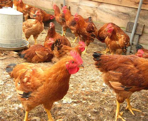 chicken farm poultry farming in nigeria roysfarm