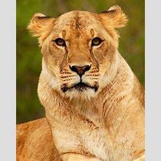 Female Lion  Wild Animals  Lion, Female Lion, Animals