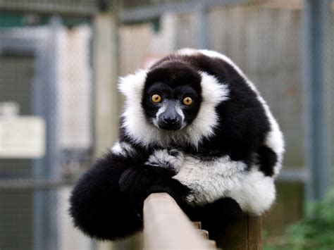 wallpaper lemur cute animals funny animals