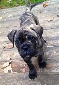 Bullmastiff puppy! | Randomness :) | Pinterest