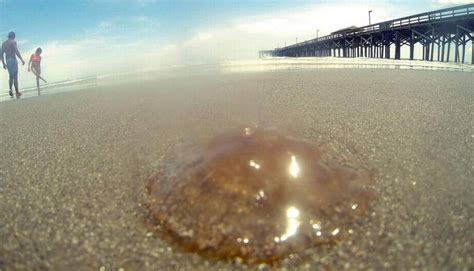 giant cannonball jellyfish  myrtle beach