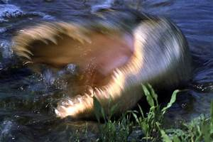 Andrew Hudson Kicks Alligator, Alligator Bites His Head In ...
