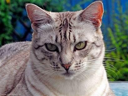 Ocicat Cat Ocicats Breeds Newcastlebeach