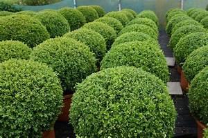 Buchsbaum Kugel Schneiden : buchsbaum buxus kugel ~ Lizthompson.info Haus und Dekorationen
