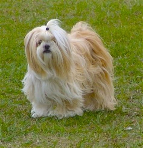 lhasa apso breed shedding 613 best images about lhasa apso on