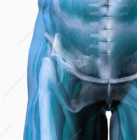 Come on over and join in the fun too! Human male hip showing bones and muscles - Stock Image - C006/2022 - Science Photo Library