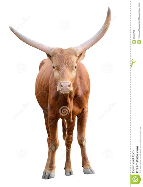 strong red brown bull ox isolated royalty  stock