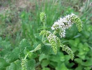 Variété De Menthe : fleurs du roussillon ~ Melissatoandfro.com Idées de Décoration