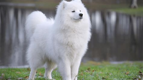10 Most Expensive Dog Breeds In The World Kohepets Blog