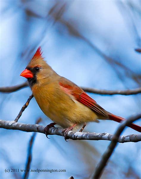 state bird of kentucky northern cardinal