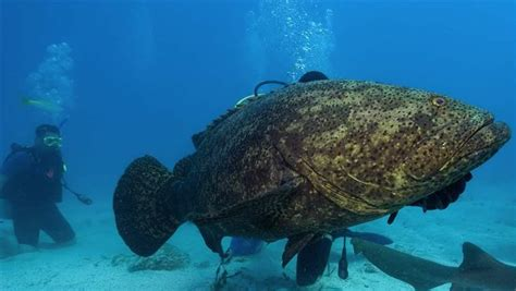 goliath fish monster grouper groupers florida much weigh grow pewtrusts pew