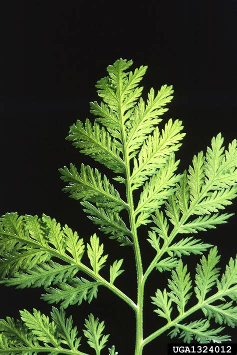 annual wormwood, Artemisia annua (Asterales: Asteraceae
