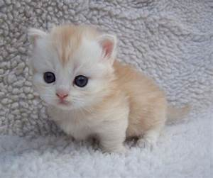 22 Most Adorable White Munchkin Cat Photos And Pictures