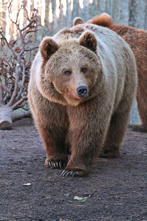 Huge Brown Bear in Russia - Photorator