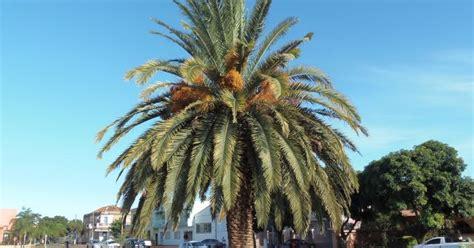 Plante Uma Vida, Plante Uma Árvore: Tamareira-das-canárias ...