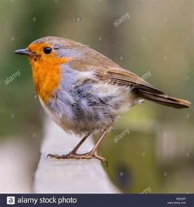 Red Robin Baum : robin day stockfotos robin day bilder alamy ~ Frokenaadalensverden.com Haus und Dekorationen