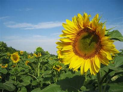Wallpapers Widescreen Flowers Flower Nature 1080p Sunflowers