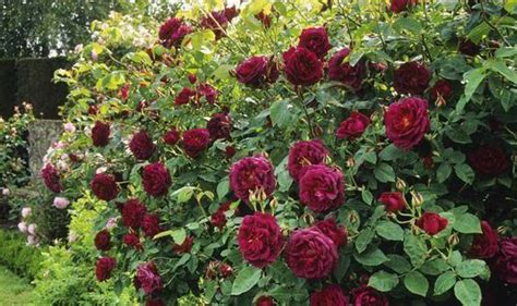 how to plant roses alan titchmarsh tips on how to grow roses in your garden garden life style express co uk