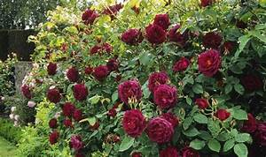 Alan Titchmarsh tips on how to grow roses in your garden ...
