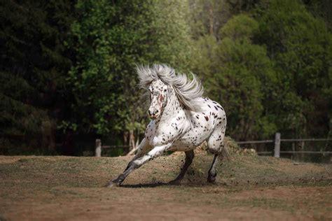 horse appaloosa horses spotted coat patterns gorgeous similar