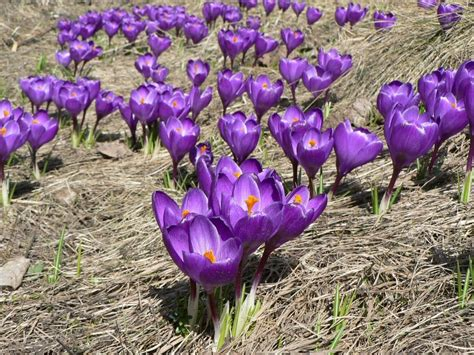fiori lillà fiori lilla wallpaperart