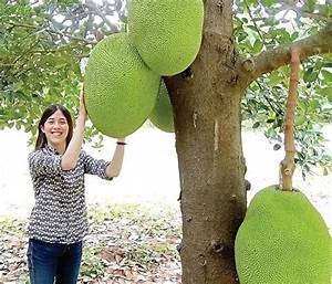 How to Grow Jackfruit from Seed, Growing Jackfruit ...