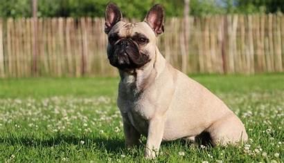 Bulldog French Puppies Dog Breeds Mix Dollars