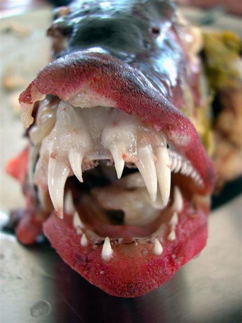 teeth fish grouper its ipernity