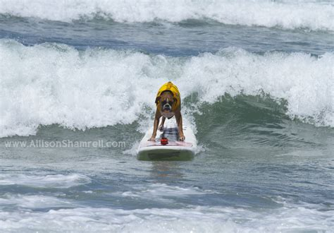 Loews Surf Dog Competition Imperial Beach San