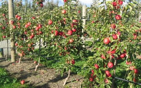 APPLE Lady in Red (Pink Lady®)