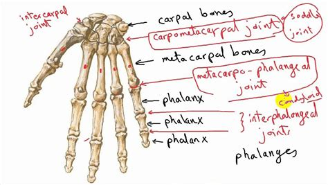 Types Of Synovial Joints (correction