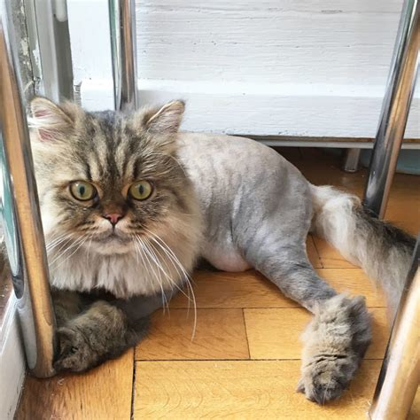 cat haircut  home   groomers meow lifestyle