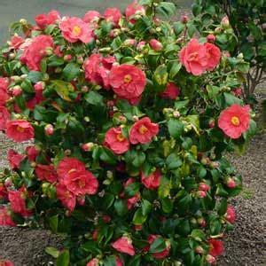 233 lia du japon grande taille dans votre jardin ou sur votre terrasse profitez d un grand 233 lia