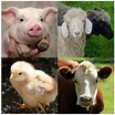 Image result for livestock