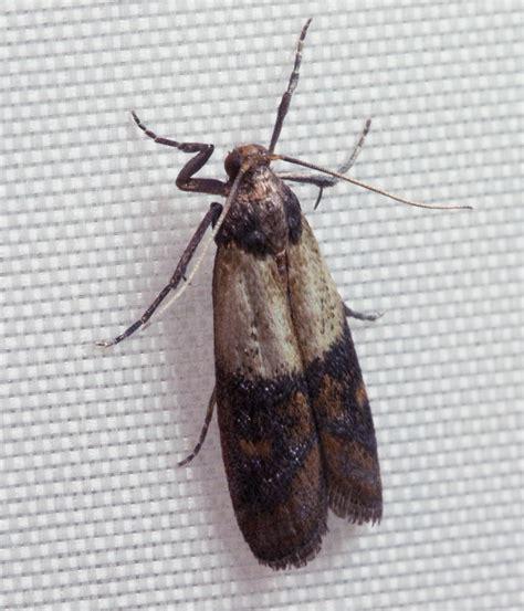 Indian Pantry Moth Indianmeal Moth