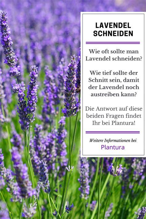 wie lavendel schneiden wann lavendel schneiden