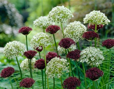 a beginner s guide to alliums angie the freckled