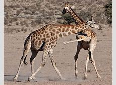 Giraffes fighting over mating rights Photos Animal