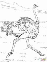 Ostrich Coloring Pages Desert Animals African Printable Sahara Outline Runs Drawing Scorpion Animal Emu Plants Animales Sheets Zoo Bird Super sketch template